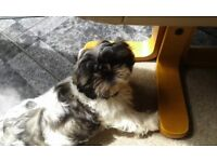 TOP QUALITY KC Reg Shih Tzu Puppy 1 beautiful dog left