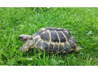 missing adult hermanns tortoise