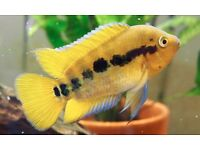Rainbow Cichlids for sale £5 each - adults or 6 month old juveniles