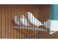 Zebra finches, Diamond Doves and Bengal.finches for sale.
