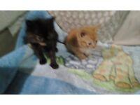 2 lovely 8 week old kittens