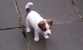 jack russell pups for sale two boys, one girl