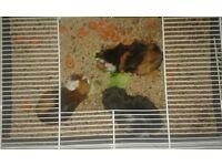 Three girls guinea pig