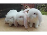 lionhead Lopp rabbits