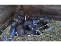 Ferrets baby polecat jills