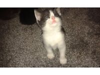 Fife prety kittens look for new owners