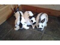 Dwarf Papillon Rabbits
