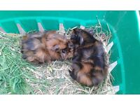 2 male abyssinian guinea pigs for sale