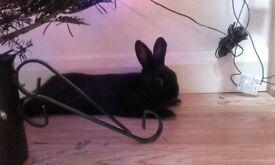 4 months old black male rabbit