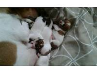 Adorable litter of 3 Jack Russell pups