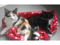 9 week old girl kittens