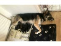 Puppies German shepherds cross Alaskan Malamute