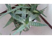Large Healthy Aloe Vera Plants