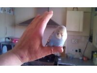 Hand tame young budgie