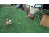 Four lovely chickens for sale