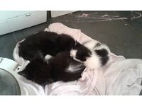 Kittens for sale 75 each ready now