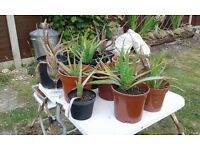 ALOE VERA PLANTS NOW READY. Your own Pharmacy in one fabulous plant. £3 to £15 NO TEXTS PLEASE