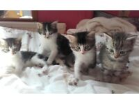 Fluffy kittens ready now grey white black tabby