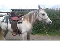 Western saddle , virtually new used only a couple of times American made Fabtron lady trail saddle