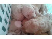 Standard poodle puppy's