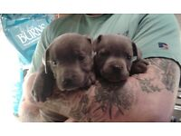 K.C registered Blue Staffordshire Bull Terrier Pups