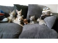 Chihuahua puppies ready now, health checked, first jabs & microchipped