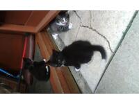 2 kittens back and white for sale