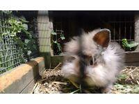 Babygirl lionhead rabbit