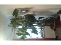 tropical pholodendron plant