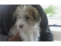 Maltese, cross jack .boy and a girl been mrico chipped flea worm first injection second paid for