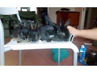 Five rabbits for quick sale in Nottingham - only £20 for the five