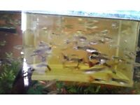 Tropical fish for sale ( Guppies )