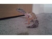 leopard geckos, Two 2 year old males for sale