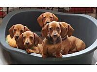 Miniature smooth hair dachshunds