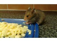 Beautiful baby hamsters
