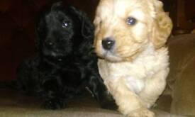 Beautiful F1 Cockerpoo Puppies For sale