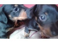 2 male minature dachshunds for sale