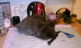 Black lionhead