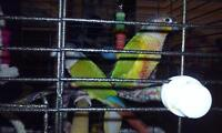 couple conure yellowside