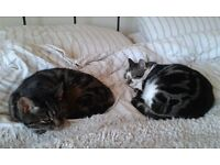 Help! Long-term foster home needed - 2 cats