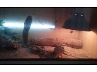Adult bearded dragon. Heated tank and all equiptment supplied. Very friendly..