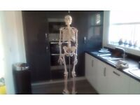 Full size skeleton for sale, ideal for medical student nearly new.