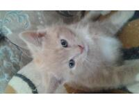 kittens for sale I got four each kitten is at 30pounds