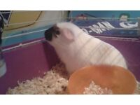 for sale guinea pig is beautiful, playful it's boy 5 months, sells cages