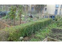 Hedge 5m long