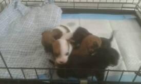 Yorkshire x Chihuahua puppies