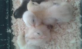 5 baby chicks for sale