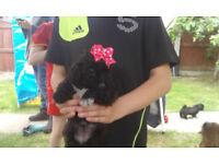 shihtuz puppys