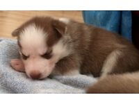 Adorable pure bred Siberian husky puppies for sale £575