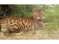 Bronze (black) spotted tabby Bengal
